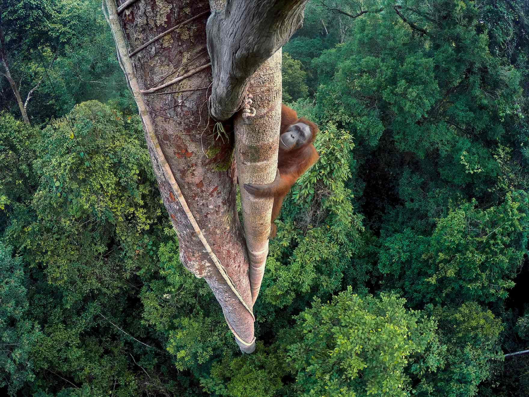 "Entwined Lives by Tim Laman Laman's winning photo shows an endangered Bornean orangutan in Gunung Palung national park. Laman climbed more than 90 feet on multiple days to place GoPro cameras where the orangutan wouldn't see them. He then captured the images using a remote trigger. He also received first place in the Nature-Stories category with ""Pursued by Fire"", ""Road to Destruction"" and ""End of the Line?"""